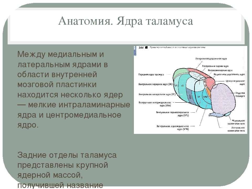 Анатомия. Ядра таламуса Между медиальным и латеральным ядрами в области внутр...
