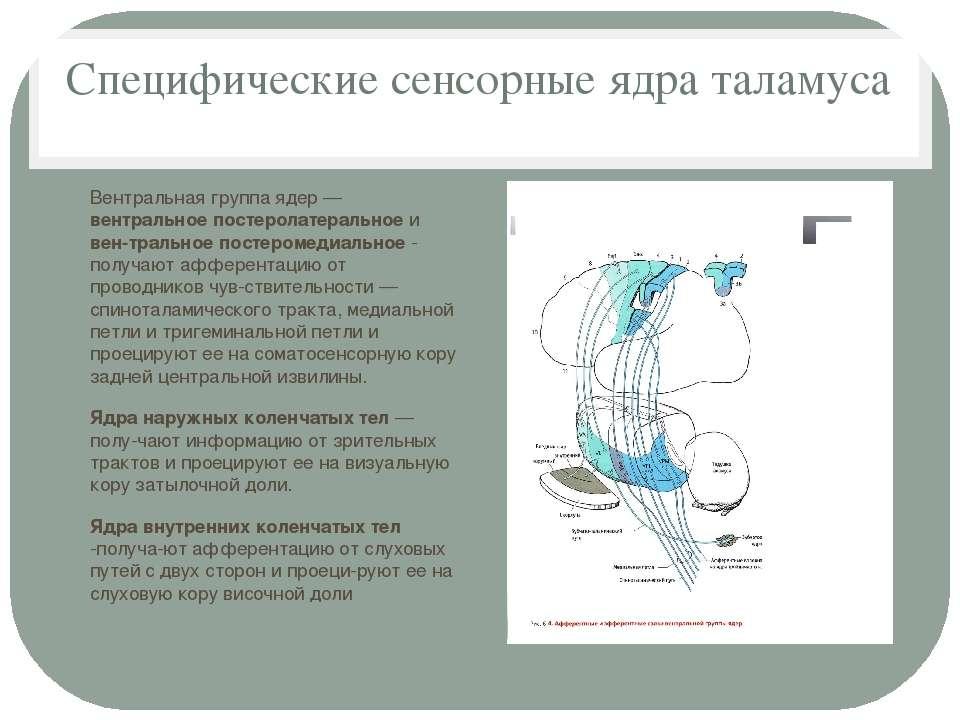 Специфические сенсорные ядра таламуса Вентральная группа ядер — вентральное п...