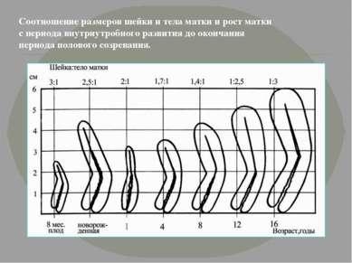 Соотношение размеров шейки и тела матки и рост матки с периода внутриутробног...