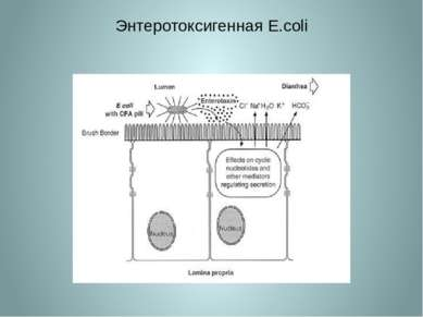 Энтеротоксигенная E.coli
