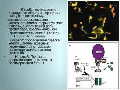 Shigella после адгезии лизирует мембрану энтероцита и выходит в цитоплазму, в...
