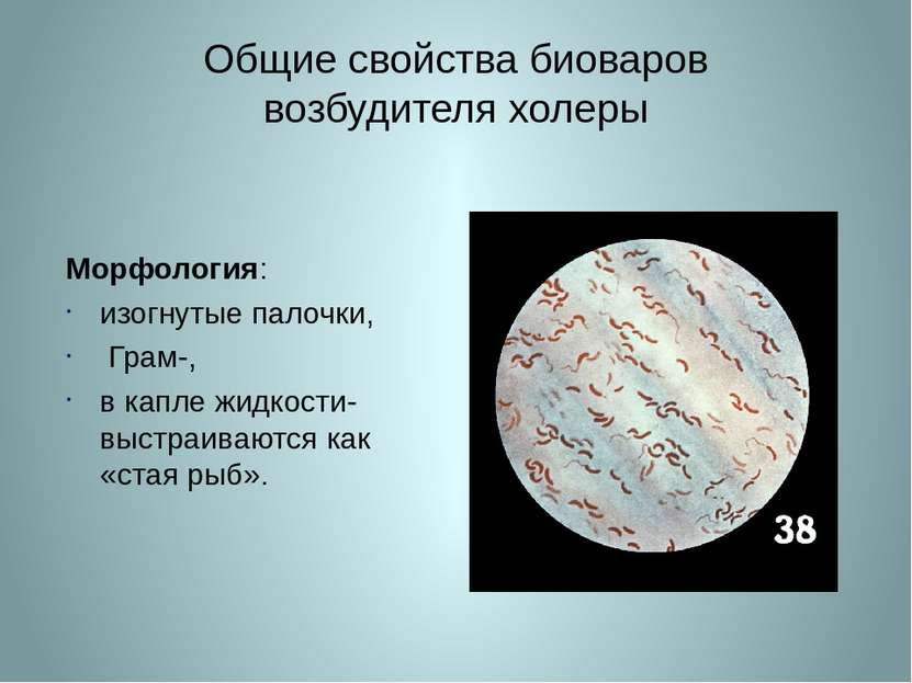 Общие свойства биоваров возбудителя холеры Морфология: изогнутые палочки, Гра...