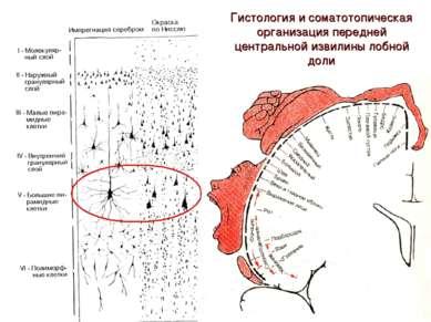 Гистология и соматотопическая организация передней центральной извилины лобно...