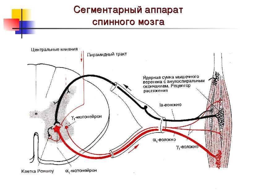 Сегментарный аппарат спинного мозга