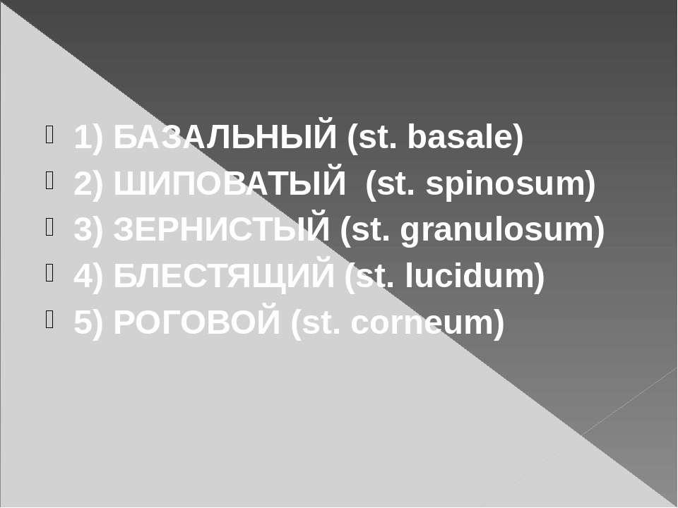 1) БАЗАЛЬНЫЙ (st. basale) 2) ШИПОВАТЫЙ (st. spinosum) 3) ЗЕРНИСТЫЙ (st. granu...