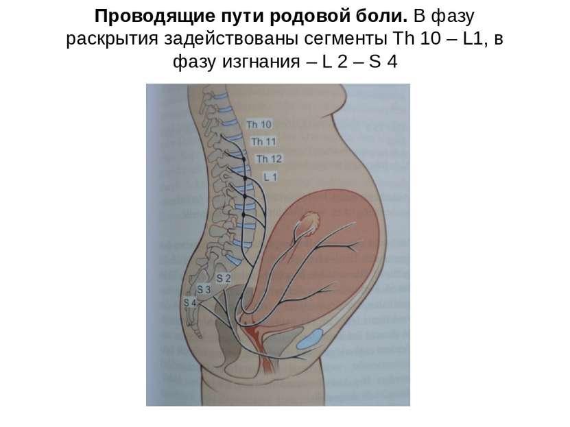 Проводящие пути родовой боли. В фазу раскрытия задействованы сегменты Th 10 –...