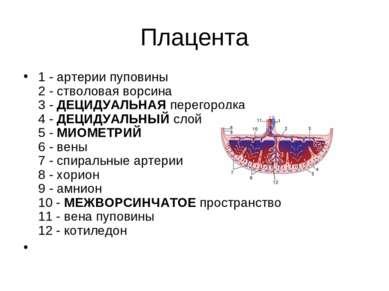 Плацента 1 - артерии пуповины 2 - стволовая ворсина 3 - ДЕЦИДУАЛЬНАЯ перегоро...