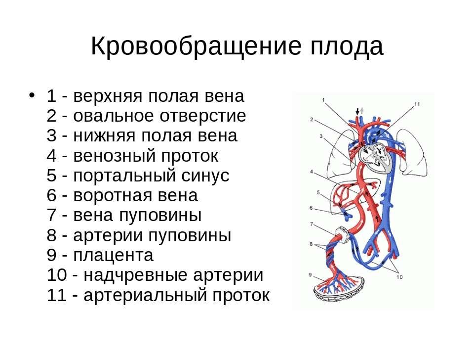 Кровообращение плода 1 - верхняя полая вена 2 - овальное отверстие 3 - нижняя...