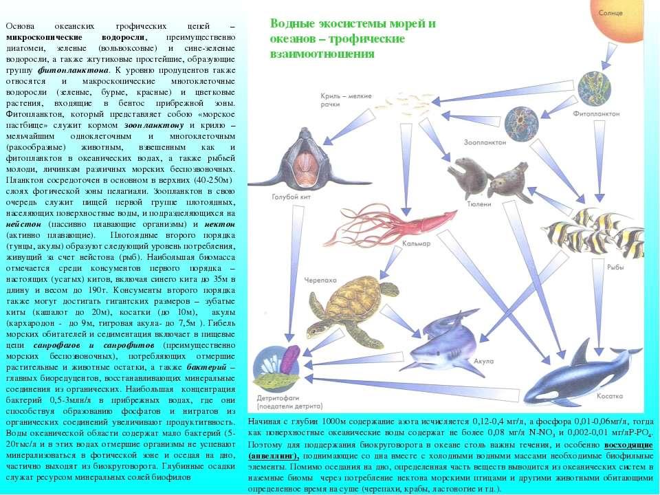 Основа океанских трофических цепей –микроскопические водоросли, преимуществен...