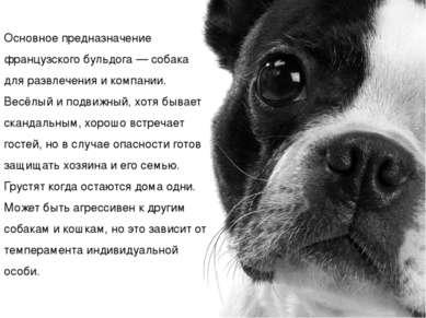 Основное предназначение французского бульдога— собака для развлечения и комп...
