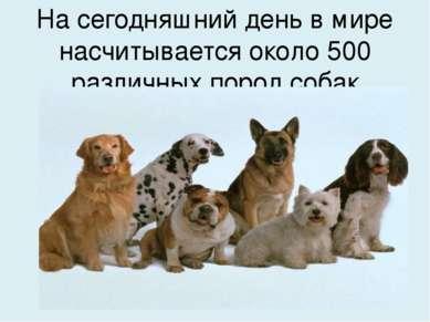 На сегодняшний день в мире насчитывается около 500 различных пород собак