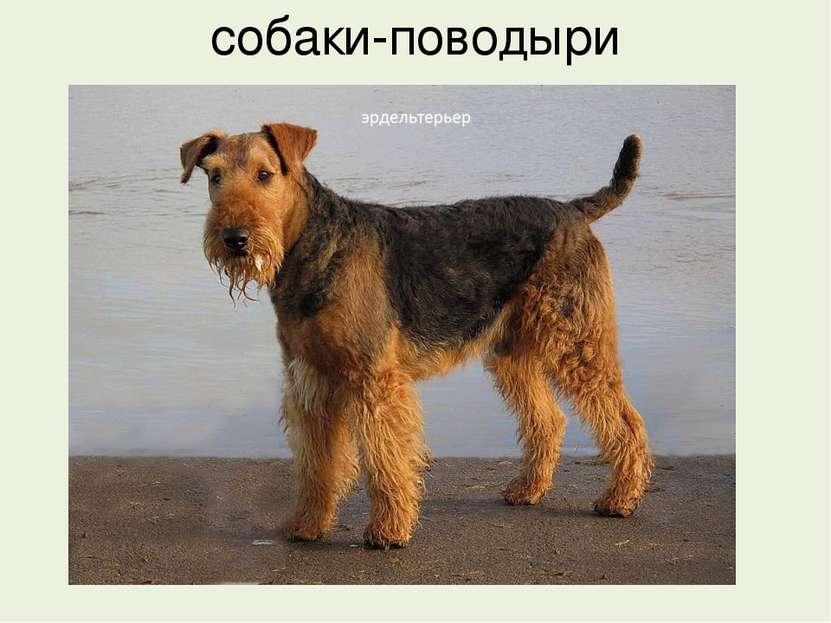 собаки-поводыри