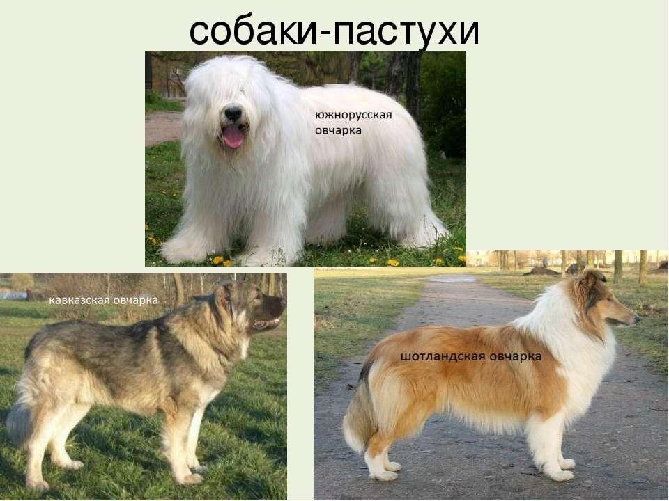 собаки-пастухи
