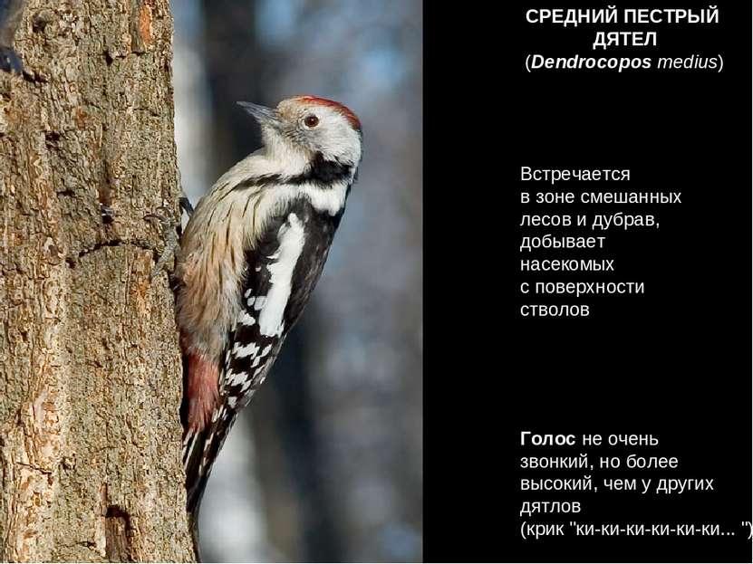 СРЕДНИЙ ПЕСТРЫЙ ДЯТЕЛ Встречается в зоне смешанных лесов и дубрав, добывает н...