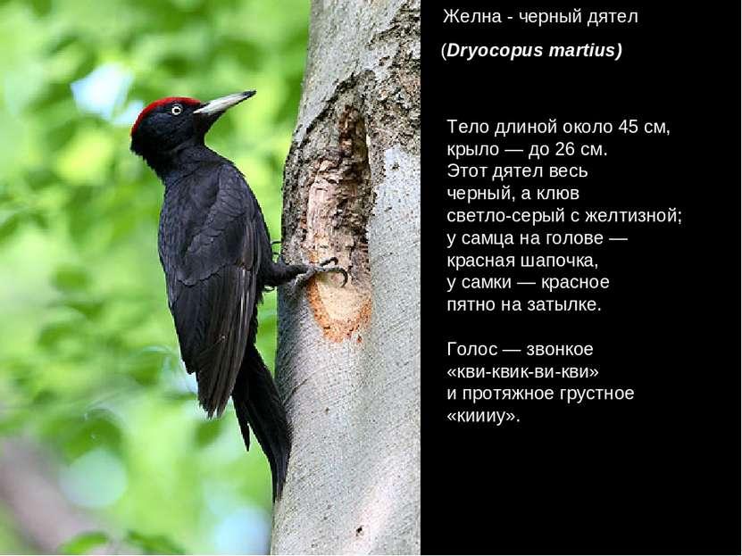 Желна - черный дятел (Dryocopus martius) Тело длиной около 45 см, крыло — до ...