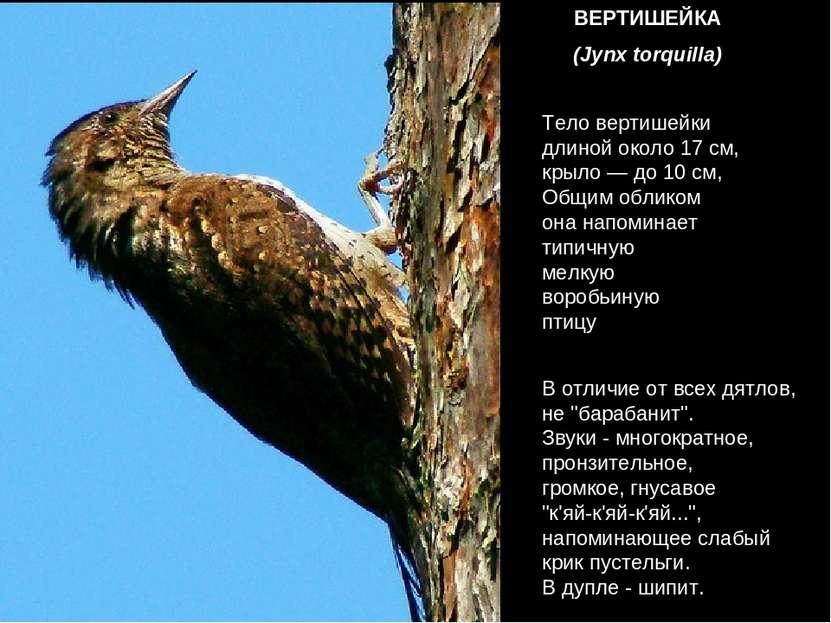 ВЕРТИШЕЙКА (Jynx torquilla) Тело вертишейки длиной около 17 см, крыло — до 10...
