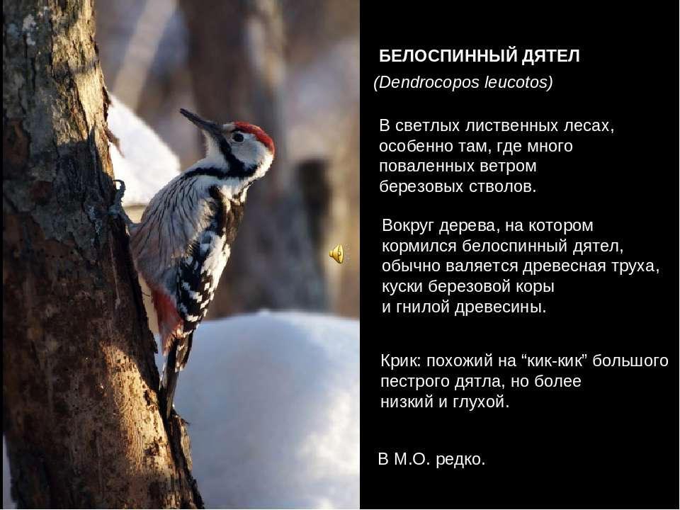 БЕЛОСПИННЫЙ ДЯТЕЛ (Dendrocopos leucotos) В светлых лиственных лесах, особенно...