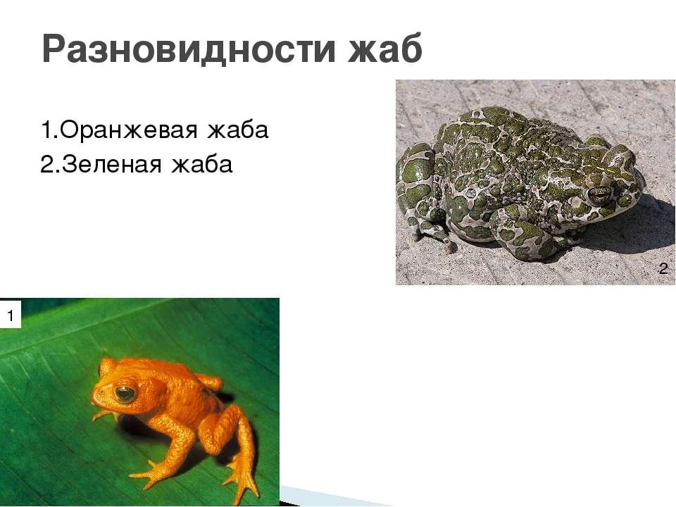 1.Оранжевая жаба 2.Зеленая жаба Разновидности жаб 1 2