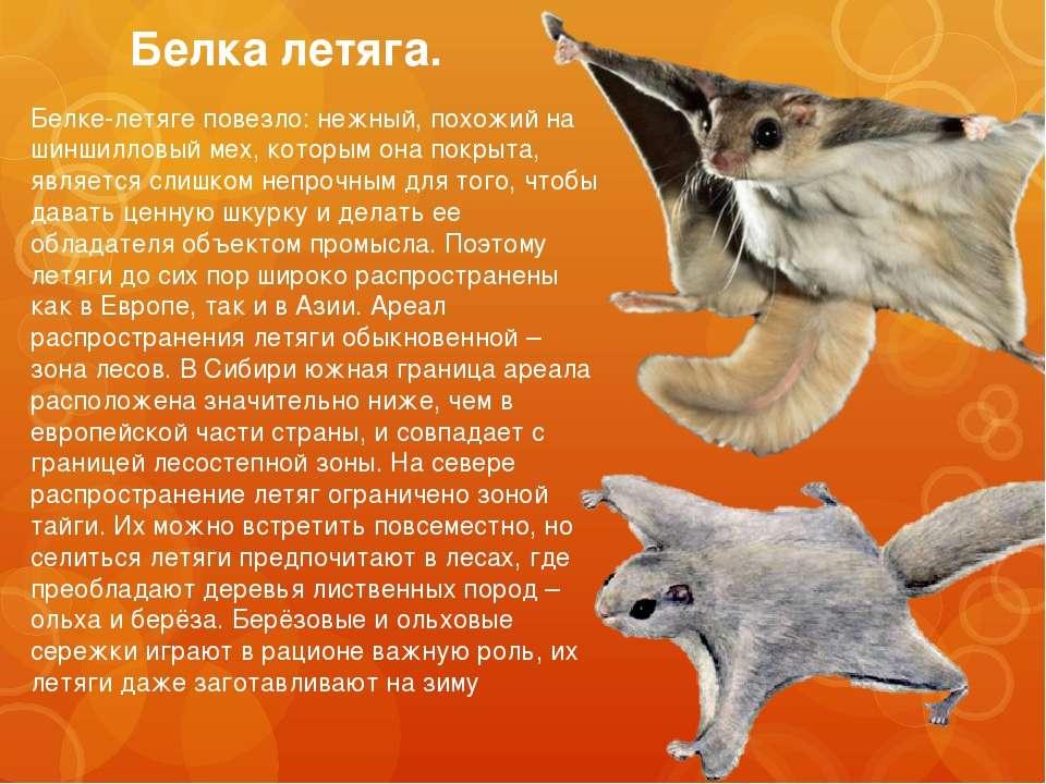 Белка летяга. Белке-летяге повезло: нежный, похожий на шиншилловый мех, котор...