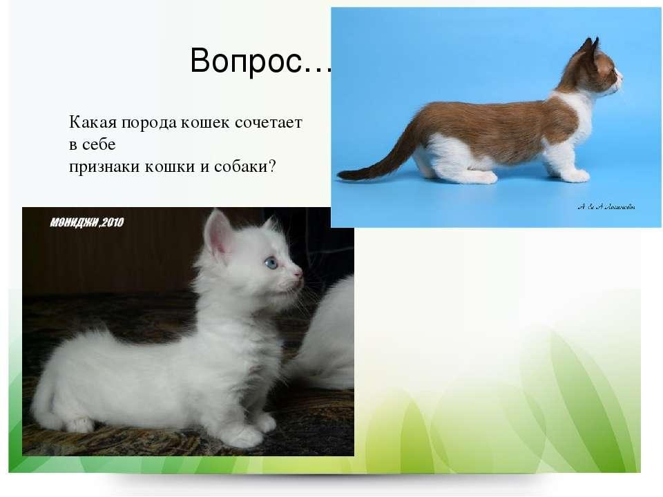 Вопрос… Какая порода кошек сочетает в себе признаки кошки и собаки?