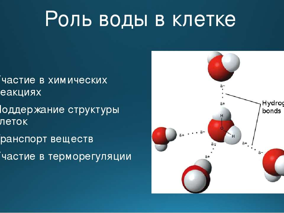 Роль воды в клетке Участие в химических реакциях Поддержание структуры клеток...