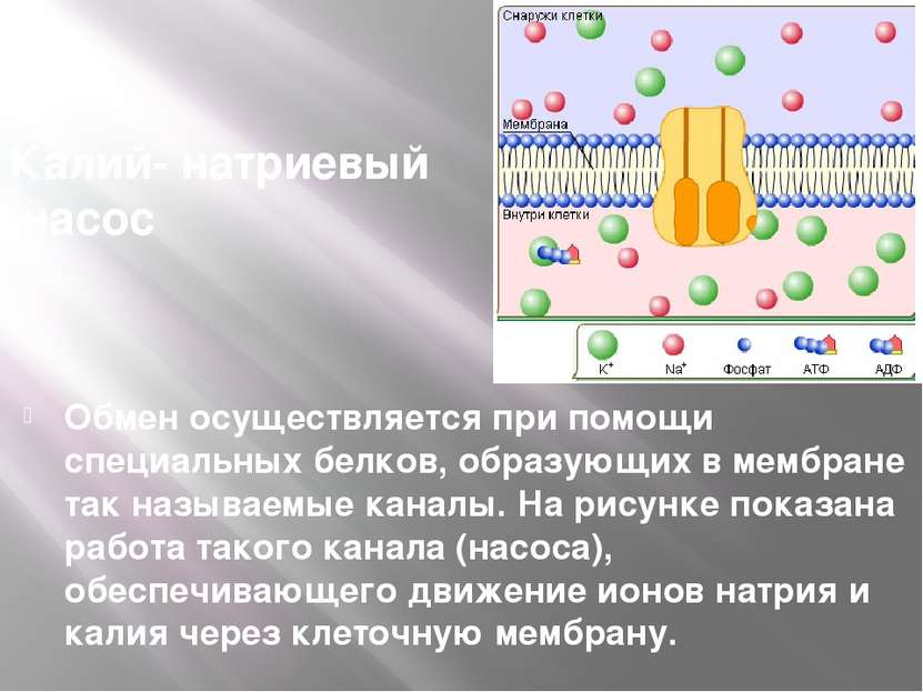 Калий- натриевый насос Обмен осуществляется при помощи специальных белков, об...