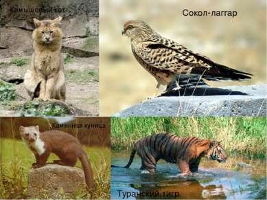Туранский тигр Каменная куница Камышовый кот Сокол-лаггар