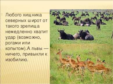 Любого хищника северных широт от такого зрелища немедленно хватит удар (возмо...