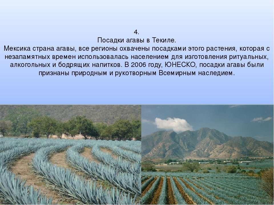 4. Посадки агавы в Текиле. Мексика страна агавы, все регионы охвачены посадка...