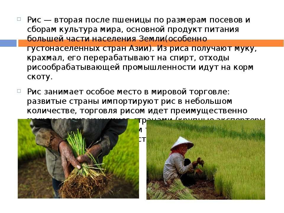 Рис — вторая после пшеницы по размерам посевов и сборам культура мира, основн...