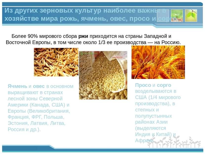 Более 90% мирового сбора ржи приходится на страны Западной и Восточной Европы...