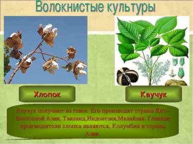 Каучук получают из гевеи. Его производят страны Юго-Восточной Азии, Таиланд,И...