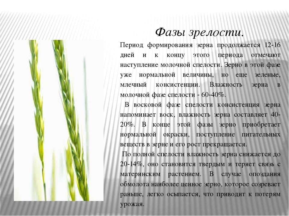 Фазы зрелости. Период формирования зерна продолжается 12-16 дней и к концу эт...