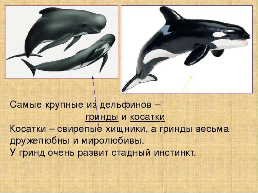 Самые крупные из дельфинов – гринды и косатки Косатки – свирепые хищники, а г...