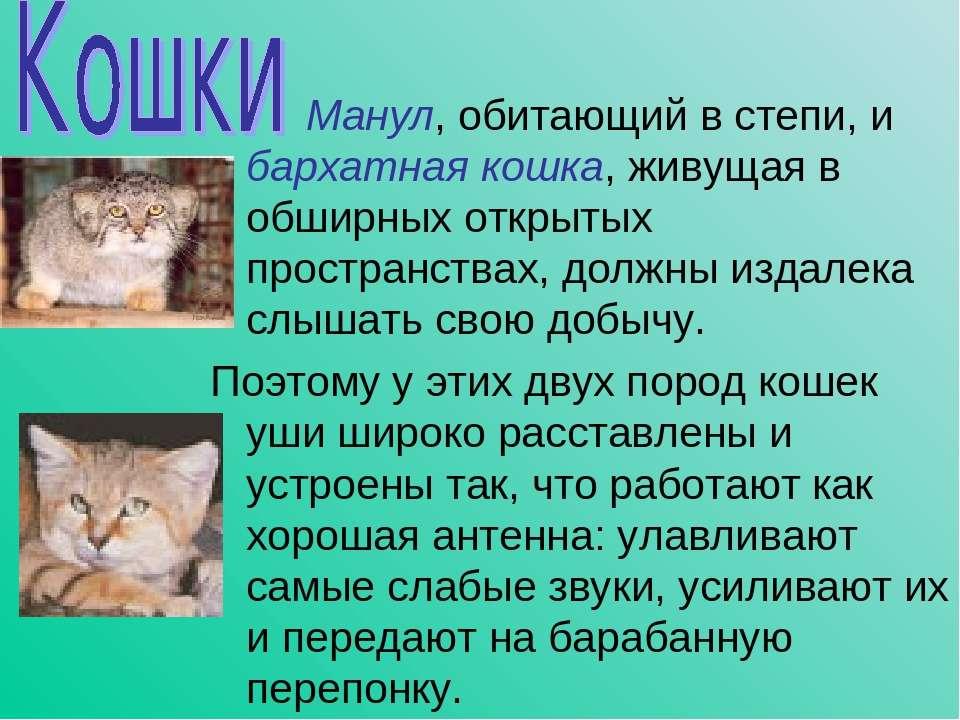 Манул, обитающий в степи, и бархатная кошка, живущая в обширных открытых прос...