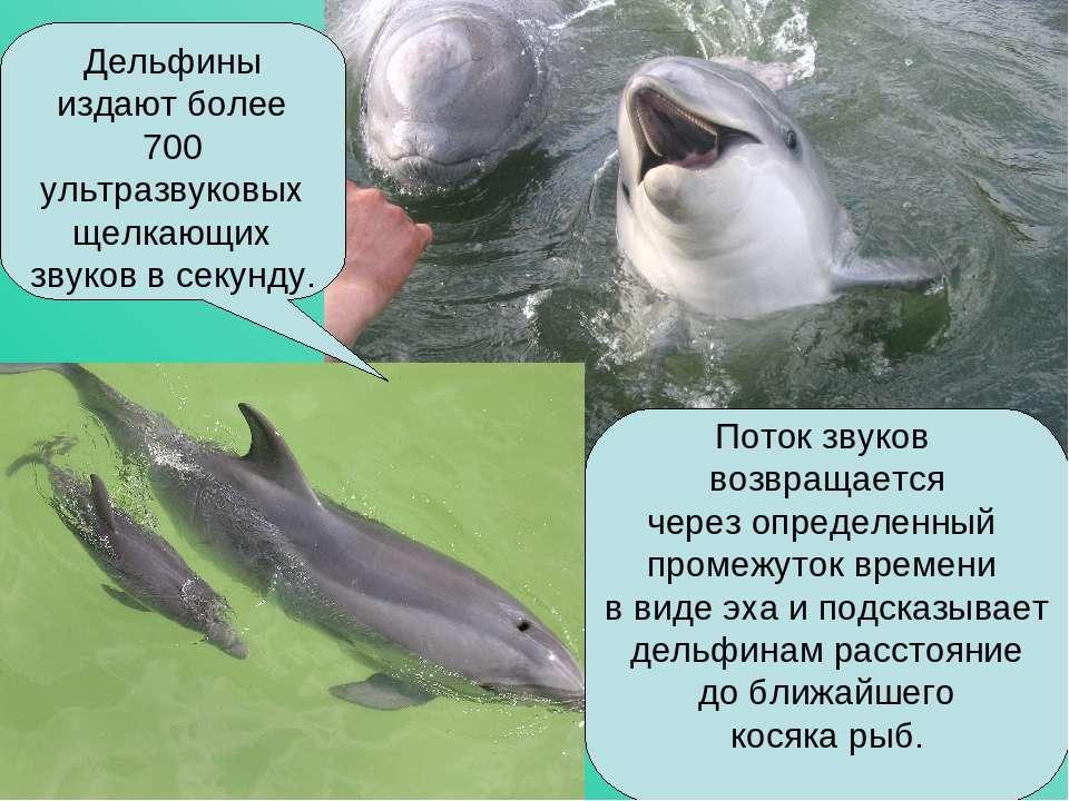Дельфины издают более 700 ультразвуковых щелкающих звуков в секунду. Поток зв...