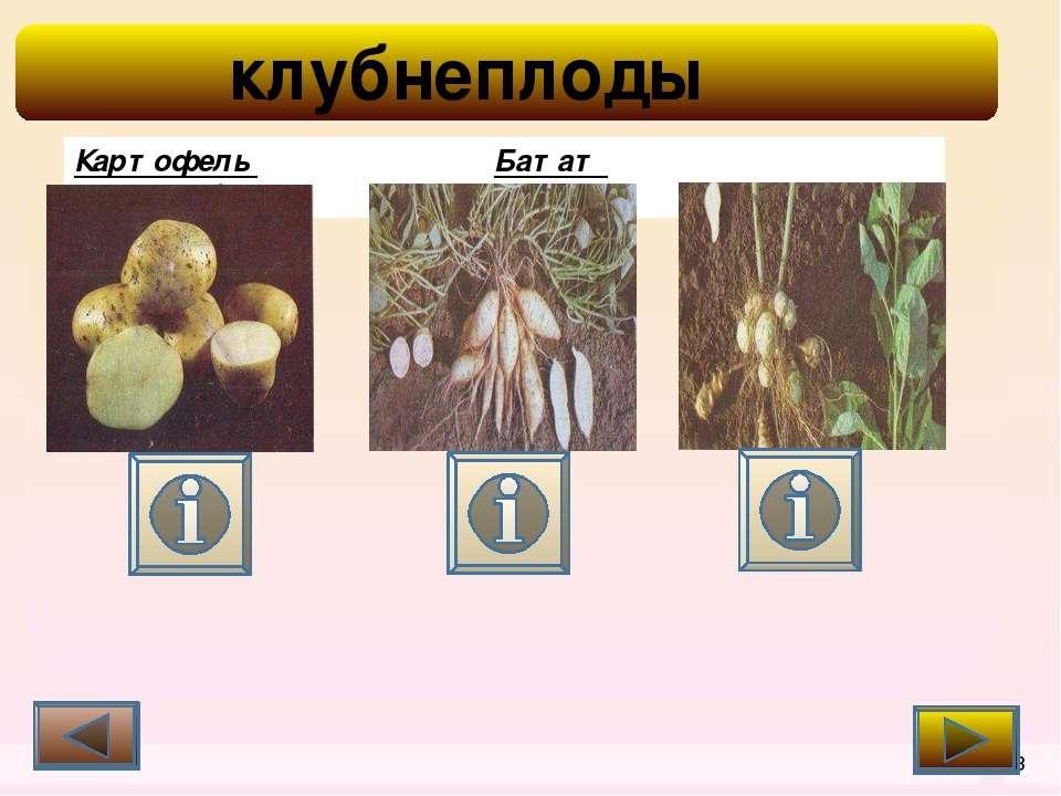 корнеплоды 1 Корнеплоды содержат сахар (в свекле и моркови), минеральные веще...