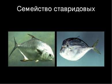 Семейство ставридовых