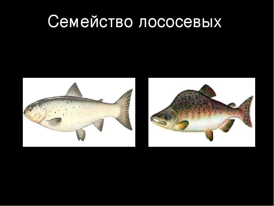 Семейство лососевых