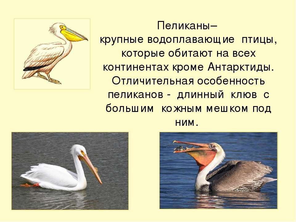 Пеликаны– крупные водоплавающие птицы, которые обитают на всех континентах кр...
