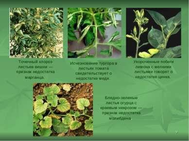 * Точечный хлороз листьев вишни— признак недостатка марганца. Исчезновение т...