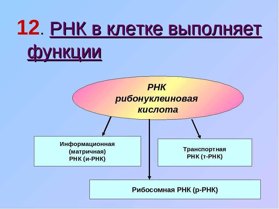 12. РНК в клетке выполняет функции