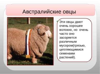 Эти овцы дают очень хорошее волокно, но очень часто оно засоряется различным ...