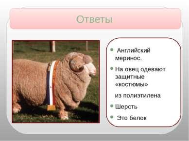 Английский меринос. На овец одевают защитные «костюмы» из полиэтилена Шерсть ...