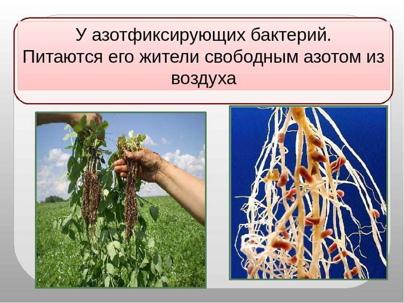 У азотфиксирующих бактерий. Питаются его жители свободным азотом из воздуха