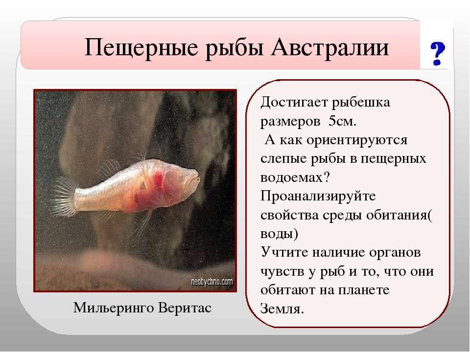 Достигает рыбешка размеров 5см. А как ориентируются слепые рыбы в пещерных во...