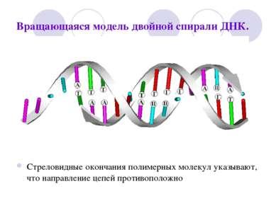 Вращающаяся модель двойной спирали ДНК. Стреловидные окончания полимерных мол...