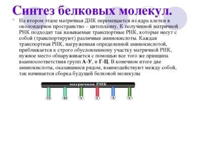 Синтез белковых молекул. На втором этапе матричная ДНК перемещается из ядра к...