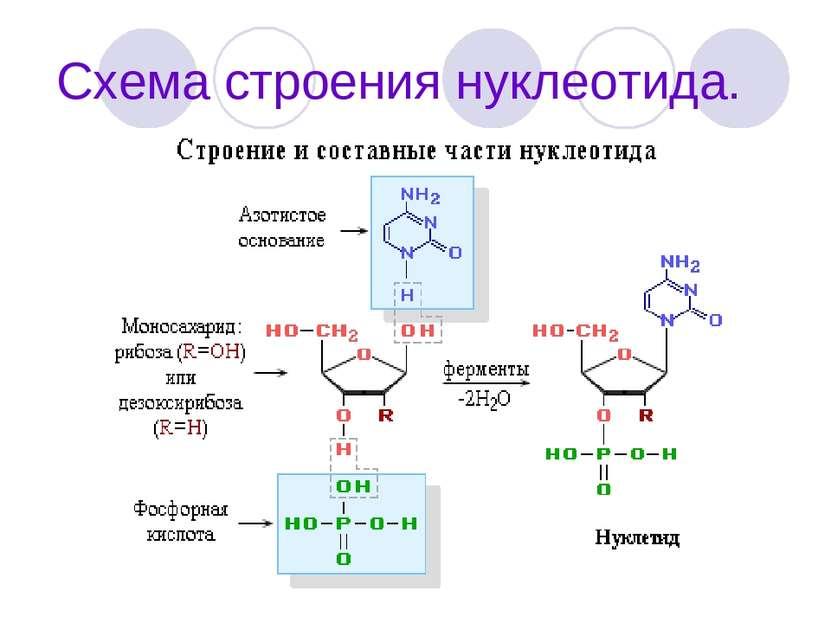 Схема строения нуклеотида.