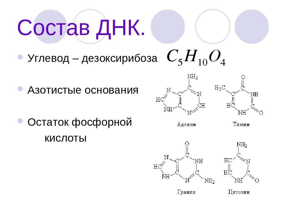 Состав ДНК. Углевод – дезоксирибоза Азотистые основания Остаток фосфорной кис...